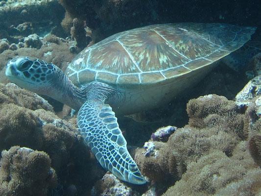 Dhonfan reef - juvenile Green turtle GR6 Kiwi