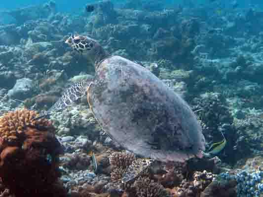 Dhonfan reef - Hawksbill turtle HK27 Hookah - swimming wild again