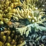 Drupella damage - corals