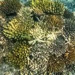Drupella damage on a coral frame