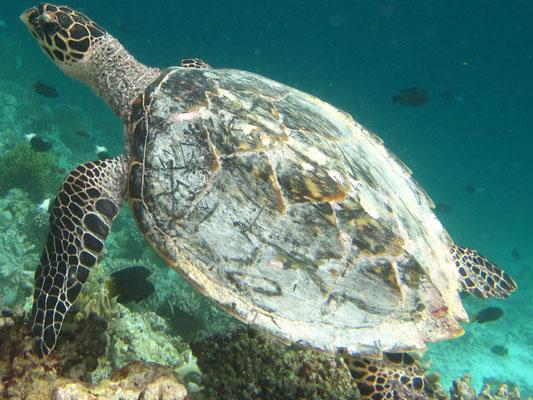 Finolhas reef - Hawksbill turtle HK1 Lulu 2010
