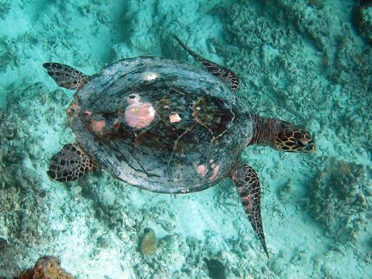 Finolhas reef - Hawksbill turtle HK1 Lulu 2011