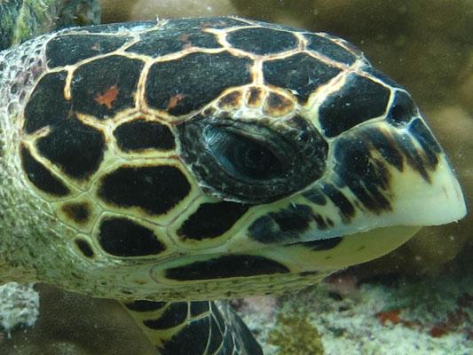 Finolhas reef - Hawksbill turtle HK32 Snowflake face closeup