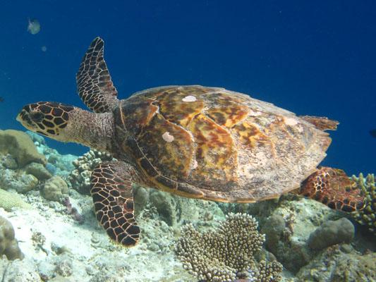 Finolhas reef - Hawksbill turtle HK32 Snowflake