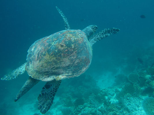 Finolhas reef - Hawksbill turtle HK56 Big Boy
