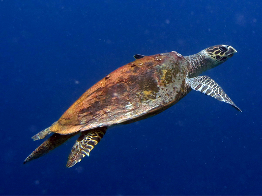 Finolhas reef - Hawksbill turtle HK56 Big Boy