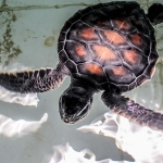 Green turtle, 2 months old, Huraa pet