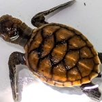 Hawksbill turtle hatchling - 1 of 3 new arrivals