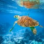 Nao the rescued Hawksbill turtle - swimming free