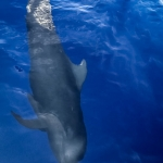Pilot whale swimming alongside our boat (guest photo)
