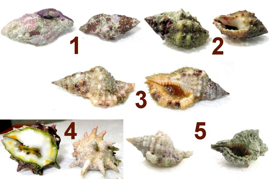 Shell Collection - Molluscs that are known to eat corals