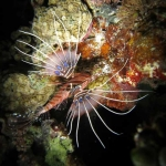 Spotfin Lionfish (Pterois antennata) on Night Snorkel
