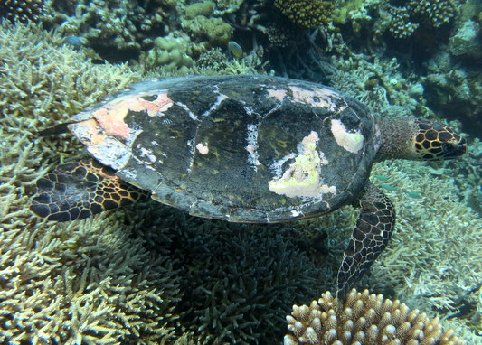 Voavah reef : mature female Hawksbill turtle - HK93 Luna