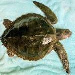 Jesse - juvenile Olive Ridley turtle