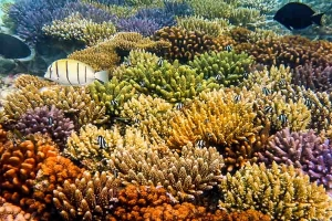 Mature coral frame at the water villas – closeup (Coral Frame Updates from Reefscapers)