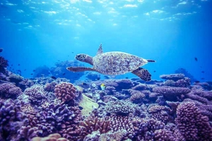 Turtle on Reef (Island Diary – June)