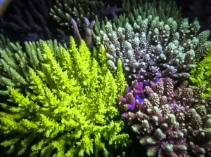 Coral Fluorescence