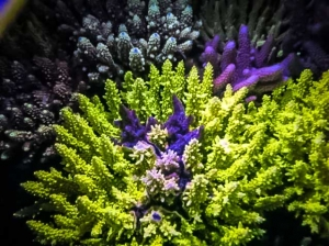 Coral Fluorescence