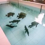 Fish Lab - new Batfish breeding programme