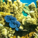 Guided Snorkel Adventure - clam on the reef