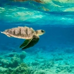 Jesse our Olive Ridley rescue turtle - finds a new direction