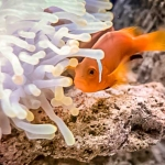 Maldivian Clownfish in our aquarium