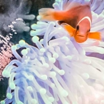 Maldivian Clownfish protecting eggs in our aquarium
