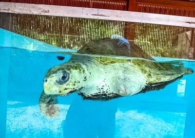 Rescue Turtle Ossy in the new pools