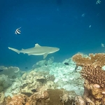Safari - Black Tip Reef Shark
