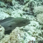 Safari - Giant Moray Eel