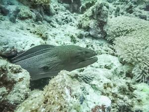 Safari – Giant Moray Eel (Batfish Breeding, Camera Traps and a Whale Workshop)