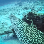 Safari - Honeycomb Moray Eel