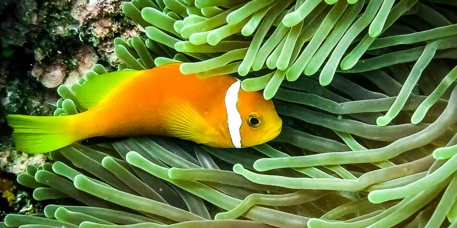 Maldives anemone fish (Amphiprion nigripes)