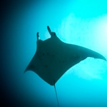 Manta Ray, One Palm