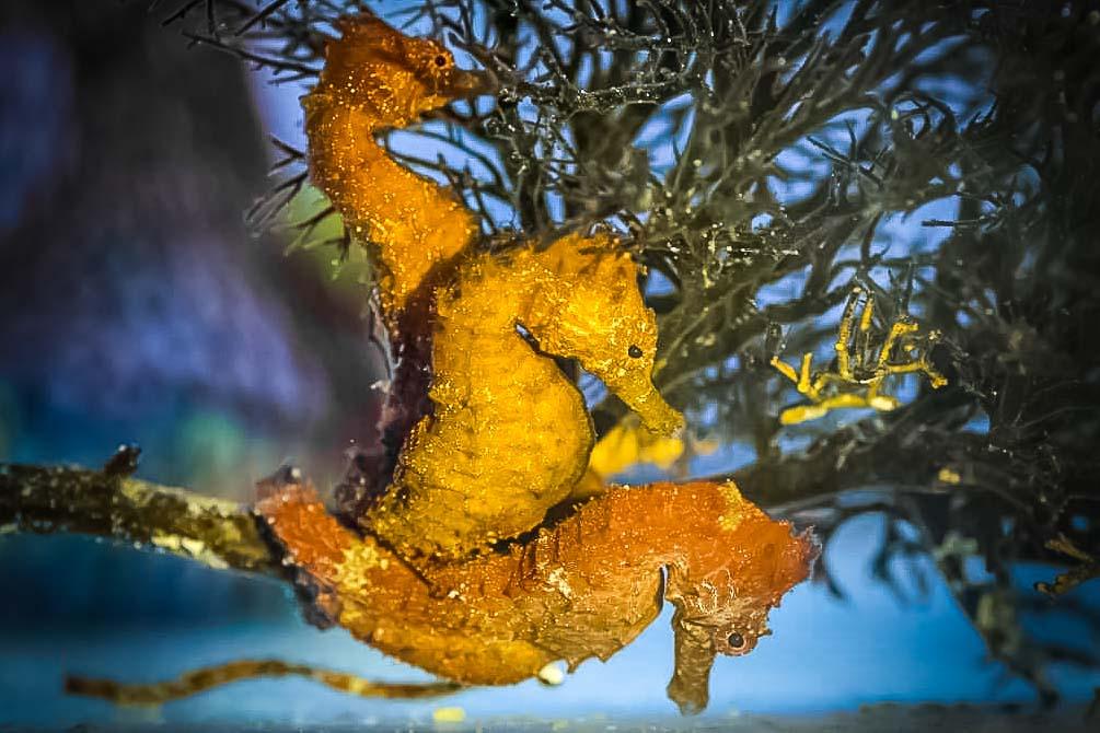 Fish Lab - Adult Seahorses