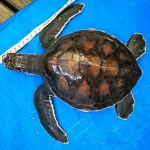 Green Turtle #2