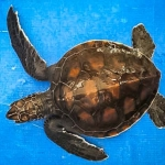 Green Turtle #3