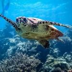 Snorkel excursions - marine life - Hawksbill turtle