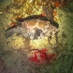 Snorkel excursions - marine life - Puffer fish - Arothron caeruleopunctatus