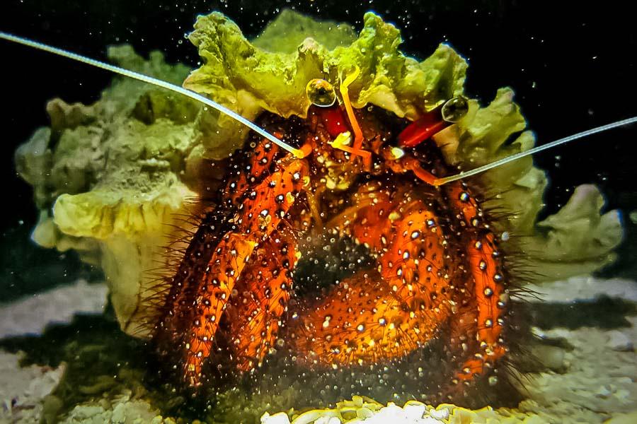 Wikipedia - Baa Atoll Maldives - Dardanus megistos