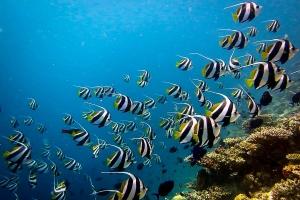 Wikipedia – Baa Atoll Maldives – Heniochus diphreutes (Fish Lab & Marine Photos)