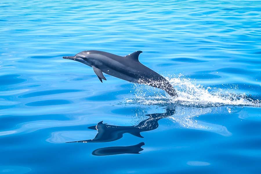 Wikipedia - Baa Atoll Maldives - Stenella longirostris