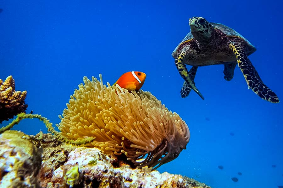 Wikipedia - Baa Atoll Maldives - turtle and clownfish