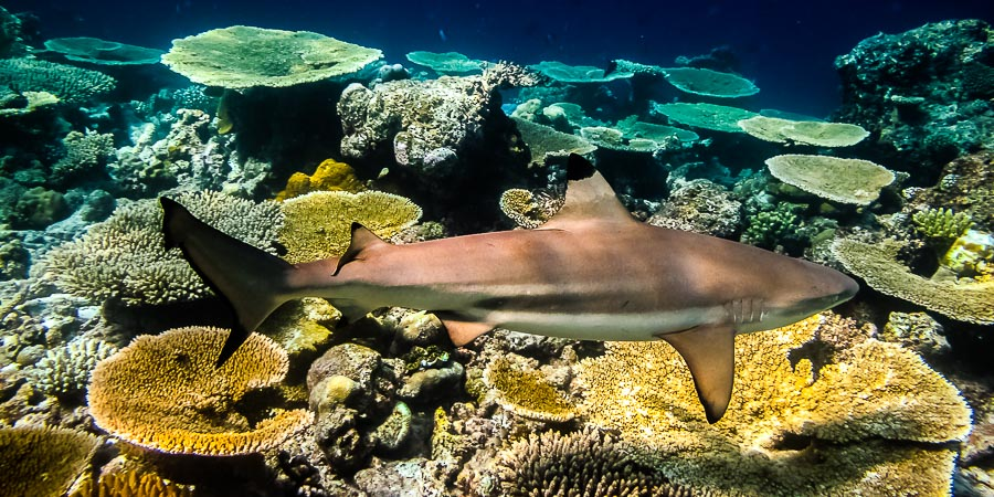 Black Tip Reef Shark, Maldives