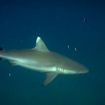 Grey reef shark, at Hafsa Thila, N.Ari Atoll