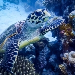 Hawksbill turtle at Voavah
