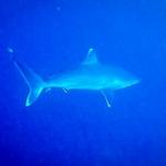 Silvertip Shark, Rasdhoo