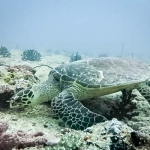 Wild Hawksbill turtle foraging for food on the reef
