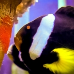 Fish Lab - Clark's clownfish laying eggs