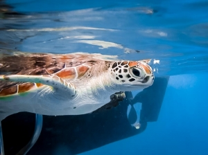 Jaz – Head Start Green Turtle – free in the ocean-2 (Sea Turtle Conservation in the Maldives)